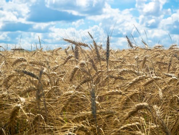 Поле спелой пшеницы в солнечный день. голубое небо над ним.