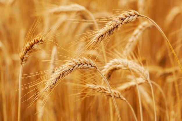 熟した麦畑。小麦の小穂は収穫の準備ができています。ファームのコンセプト