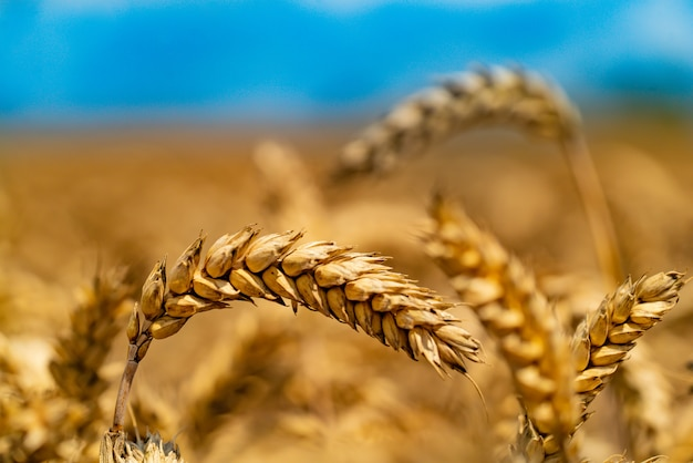 Ripe wheat grains are ready for harvest. close-up