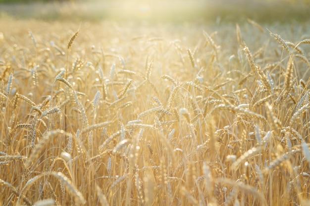 熟した小麦は明るい太陽の光と農業分野で育ちます。穀物の秋の収穫。田園風景。セレクティブフォーカス。