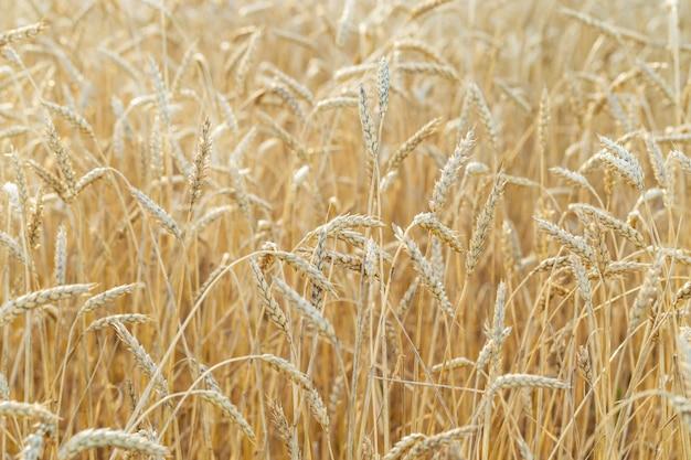 熟した小麦は農地で育ちます