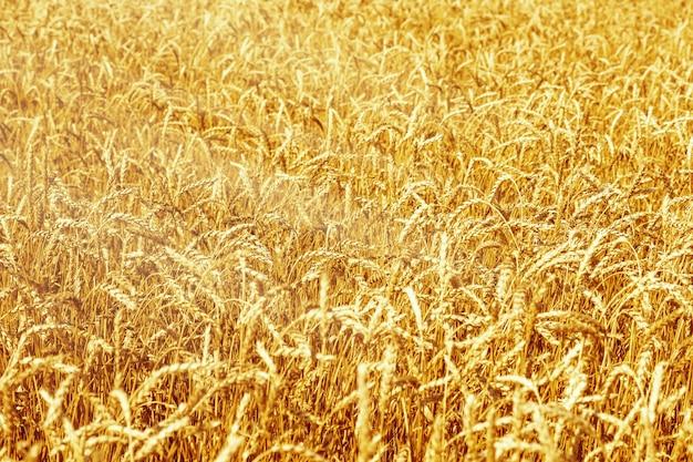 Спелая пшеница в сельскохозяйственном поле