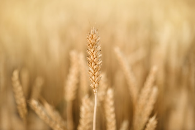 Колосья спелой пшеницы крупным планом на желтом пшеничном поле, урожай пшеницы летом сельскохозяйственный фон