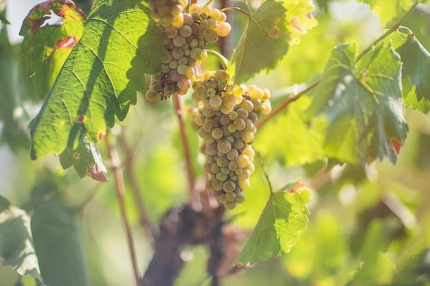 ブドウ園で熟した白ブドウ。秋、晴れた日、収穫時期。セレクティブフォーカス、コピースペース。ワイン栽培のコンセプト