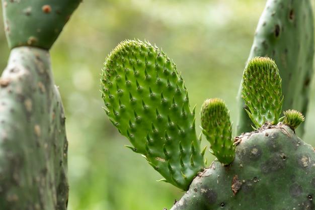 若いノパルが発芽している熟した野生のウチワサボテン
