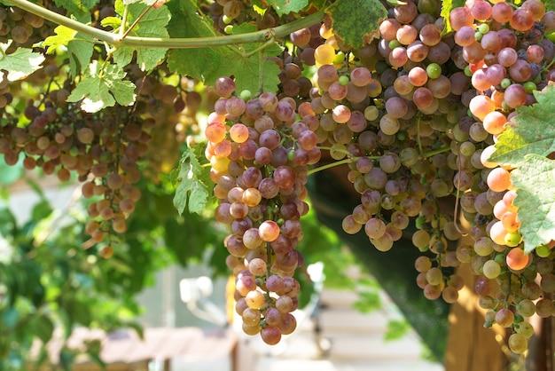 Созревшие виноградные грозди на солнце свисают с лозы и готовы к сбору.
