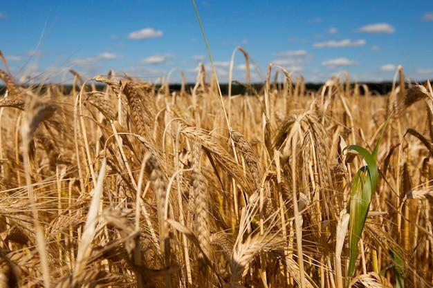 熟した黄色い穀物-熟した黄色い穀物が育つ農地