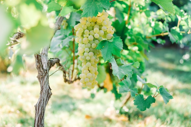 Ripe yellow grape growing on bushes, close up view