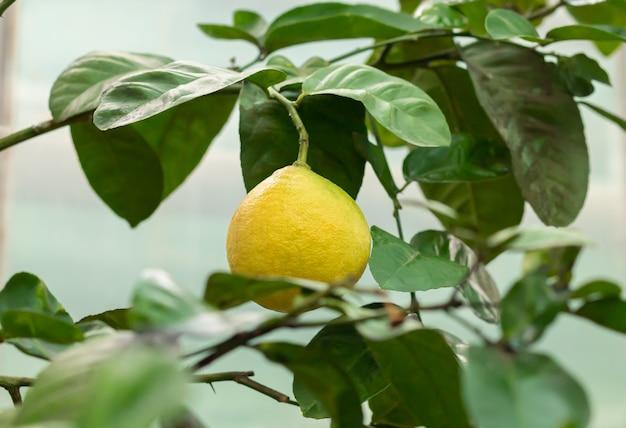 Ripe yellow lemon hanging on tree branch close-up