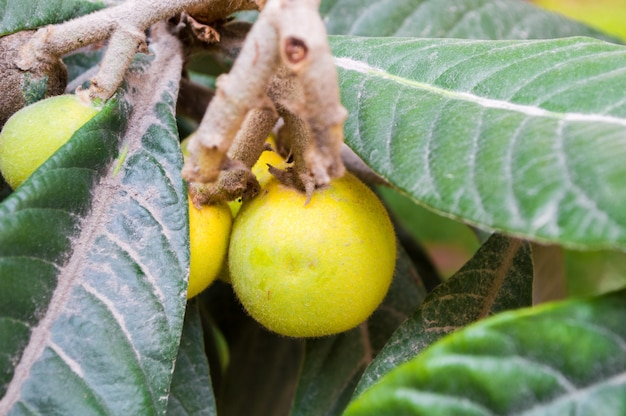 Ripe yellow loquat on a branch