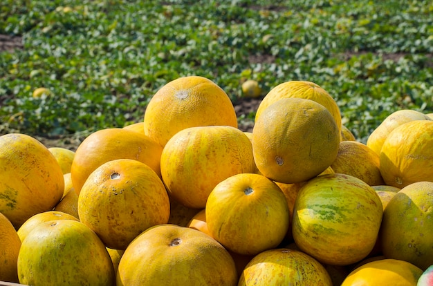 Ripe yellow melon from the field harvest
