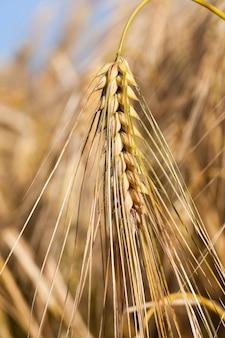 잘 익은 황변 곡물