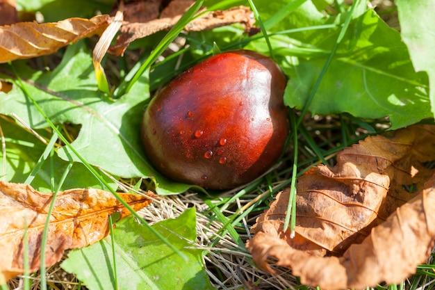 Созревшие и упавшие на землю плоды каштаново-коричневого цвета. осенний сезон. видна зеленая трава и засохшие листья дерева
