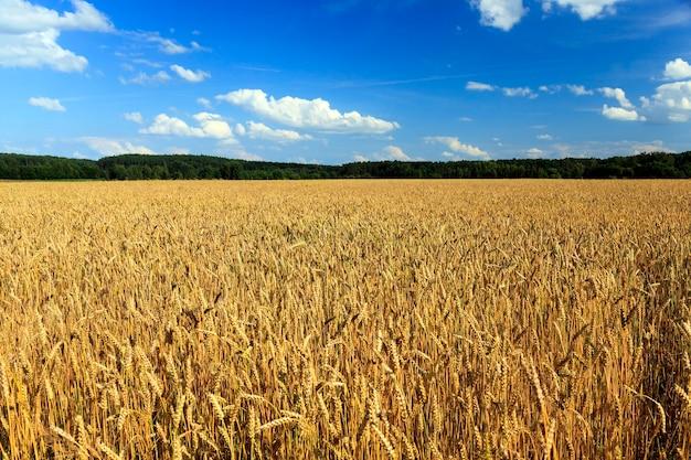 熟した穀物-熟した黄色い穀物を収穫する準備ができて成長する農地