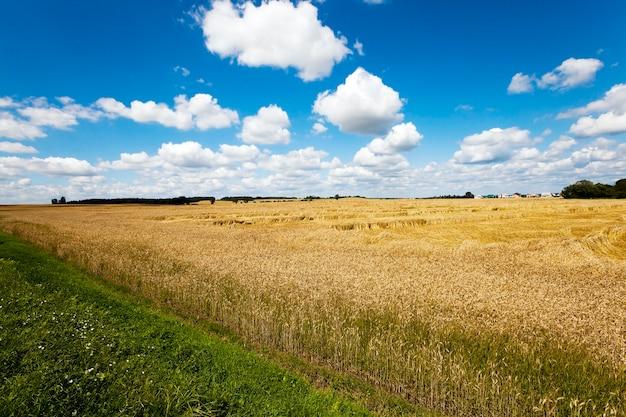 익은 곡물-익은 노란색 곡물을 수확 할 준비가 된 농업 분야