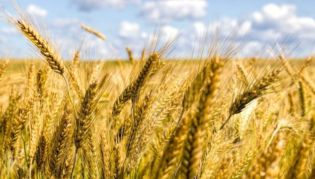 익은 곡물 밀