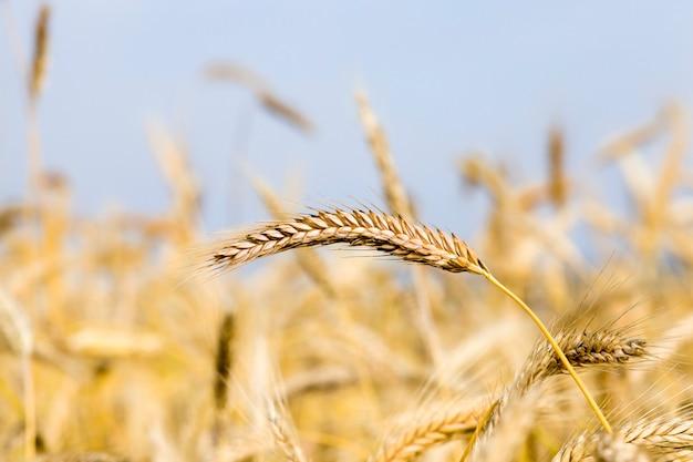 熟した小麦の風景