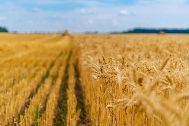 雲ひとつないlue空の背景に黄色い麦畑の熟した耳。田舎の牧草地の地平線。自然写真。豊作のアイデア。