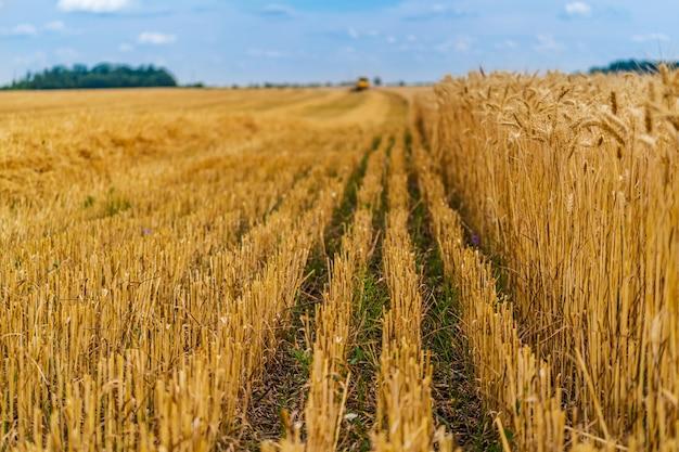 雲ひとつないlue空の背景に黄色い麦畑の熟した耳。田舎の牧草地の地平線。自然の写真。豊作のアイデア。