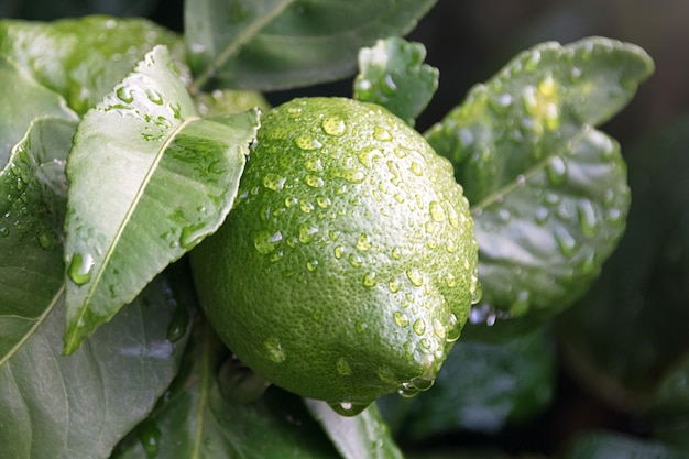 Конец дерева лимона плодоовощ зрея вверх. свежий зеленый лимон лайм с каплями воды висит на ветке дерева в органическом саду