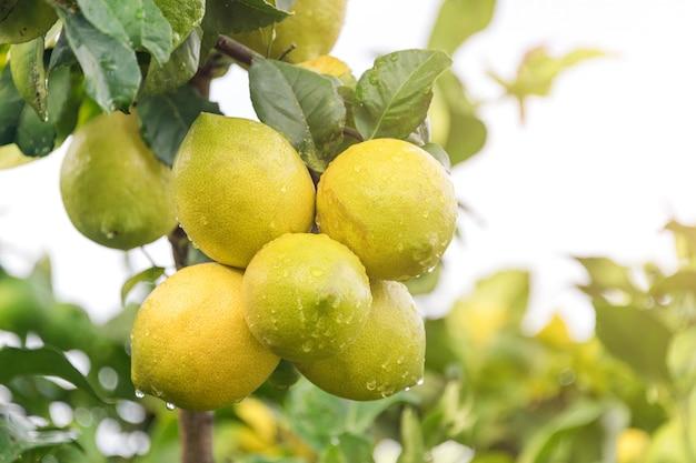 Ripening fruits lemon tree close up. fresh green lemon limes with water drops hanging on tree branch in organic garden