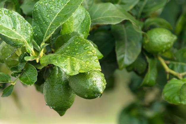 Ripening fruits lemon tree close up.
