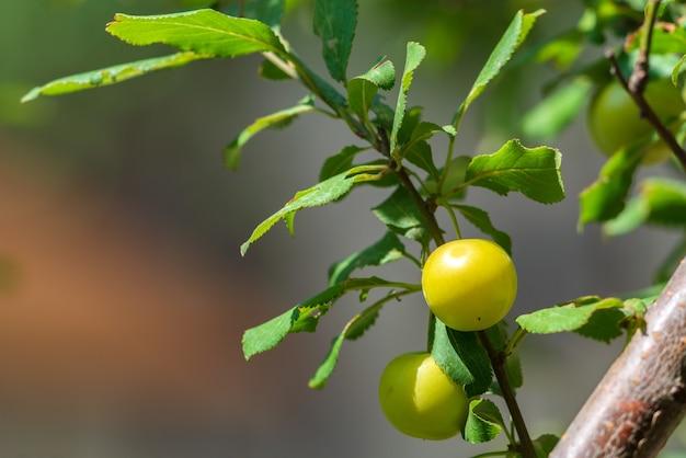 가지에 체리 자두의 익은 과일