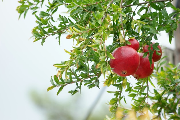 Ripening of pomegranate fruits on tree.