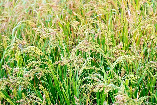 Ripening spikelets of millet on the background of green leaves