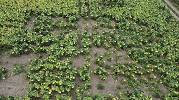 들판에서 익어가는 해바라기. 거의 자라지 않는 줄기를 보십시오. 가난한 수확.