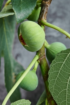 Ripped green figs on tree.