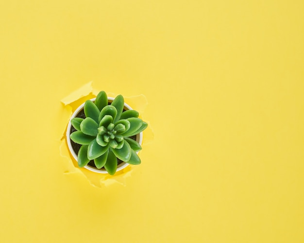A ripped hole in yellow textured background, cactus flower pot, concept of rupted paper with copy space.
