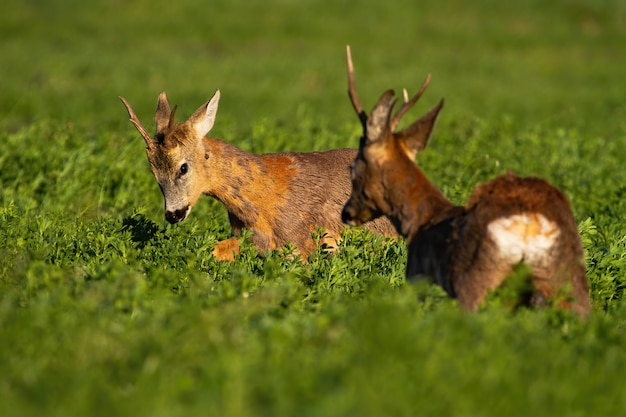Rivalry of roebucks in a territorial fight in spring nature