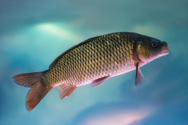 River carp swims underwater in the aquarium.