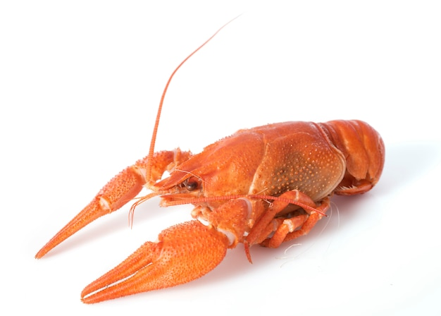River crayfish