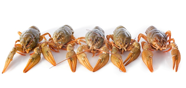 River crayfish