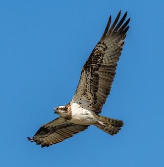 飛行中のタカ川または西部ミサゴ(pandion haliaetus)