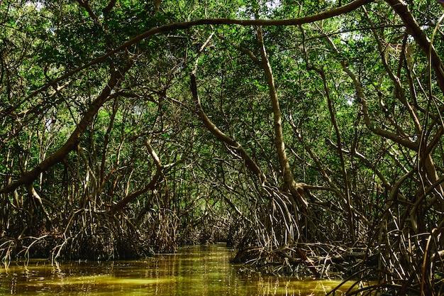 マングローブの木のある森の川