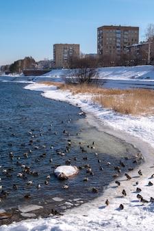 美しい冬の公園のアヒルと川。都市の背景