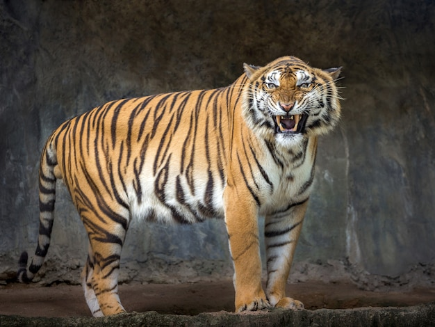 スマトラトラは動物園の自然な雰囲気の中でroえています。