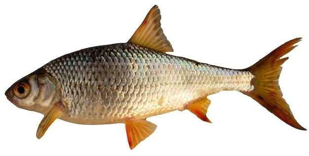 흰색 배경에 고립 된 바퀴벌레 물고기