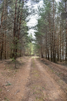 Дорога среди соснового леса