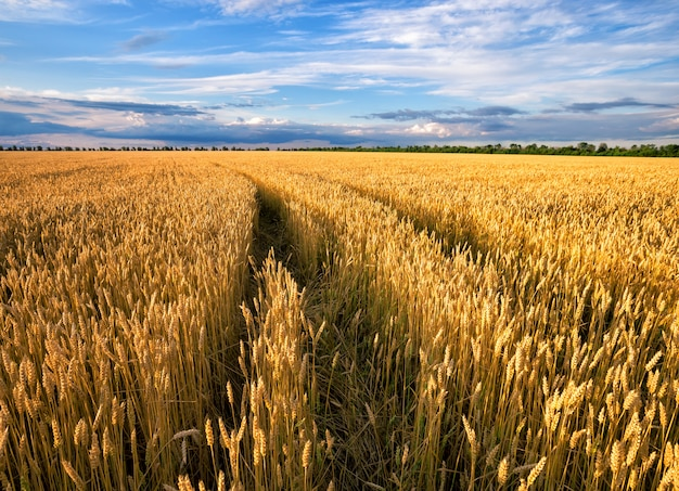 Road to field with yellow ears of wheat