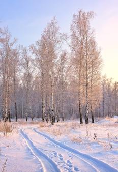 白樺の木立の道。冬の背の高い木々に囲まれた青い雪の上の機械の痕跡