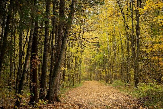 타락한 노란 잎으로 덮여 가을 숲의 길