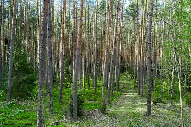 Дорога в лесу с высокими лиственными деревьями