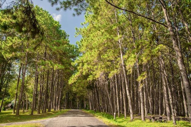 松林の中の道