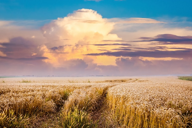 The road is among the wheat field. scenic clouds over the wheat field during the sunset. summer landscape