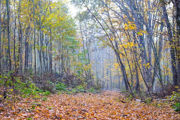 The road is covered with dry leaves, in the autumn forest_