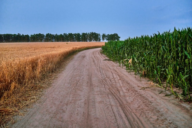 Road between ripe green corn and yellow golden grain fields in the countryside
